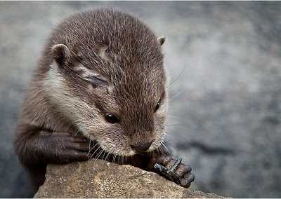 Otter-Concentration